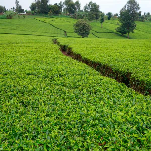 Кенийский чай