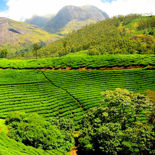 Индия страна чая